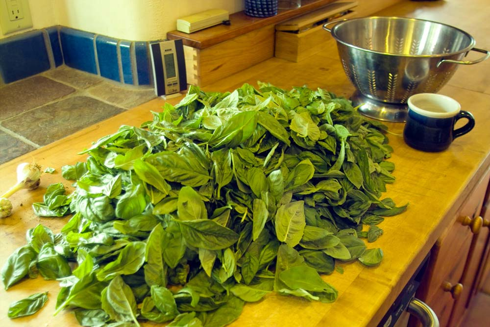 how to cut basil so it grows back